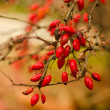 Wild rose-hips on bush — Stock Photo #24138353