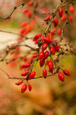 Wild rose-hips on the bush — Stock Photo
