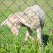 Cute lamb behind wire fence — Stock Photo