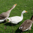 3 geese on grass — Stock Photo