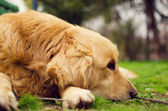 Golden Retriever dog lying down in a meadow on a sunny summer's — Stock Photo