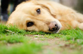 Retriever Dog lieing on its side looking into the camera — Stockfoto