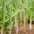 Leek plants in row — Stock Photo