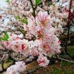 Sakura spring blossom. — Stock Photo #32009655