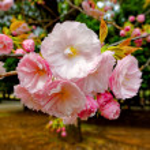Sakura spring blossom. — Stock Photo