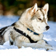 Siberian Husky Dog in Snow — Stock Photo