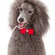 Stabdard Poodle with Red Bow Tie — Stock Photo #24994509
