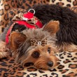 Yorkshire Terrier Laying on Animal Print Bed — Stock Photo #24994517