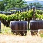 A vineyard with oak barrels — Stock Photo
