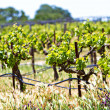Vineyard with young plants — Stock Photo