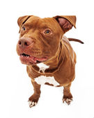 Pit Bull Dog Growling — Stock Photo