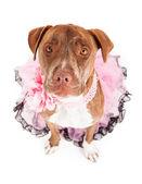Amichevole femminile pit bull in rosa — Foto Stock