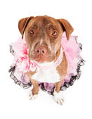 Friendly Female Pit Bull in Pink — Stock Photo