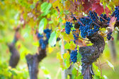 Vineyard Grapes Ready for Harvest — Stock Photo
