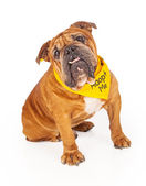 Bulldog Wearing Adopt Me Bandana — Stock Photo