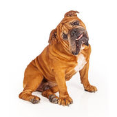 Bulldog sitting with tilted head — Stock Photo