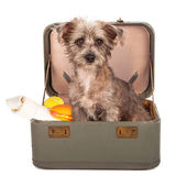 Terrier Dog in Suitcase — Stock Photo
