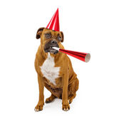 Boxer Dog Party Hat and Horn — Stock Photo