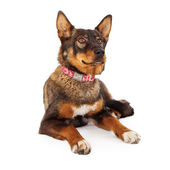 Shepherd Mixed Breed Dog Laying Down — Stock Photo