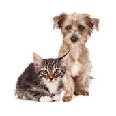 Terrier Mixed Breed Puppy and Tabby Kitten — Stok fotoğraf