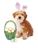 Havanese Puppy Easter Bunny — Stock Photo