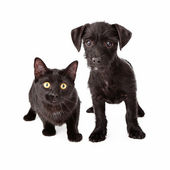 Black puppy and kitten — Stok fotoğraf