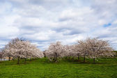 White Cherry Blossom Field in Maryland — Stock Photo
