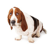 Guilty Looking Basset Hound — Stock Photo