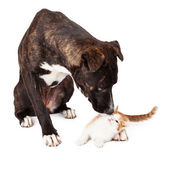 Large dog Sniffing Kitten — Stock Photo