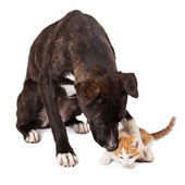 Large dog playing with kitten — Stock Photo