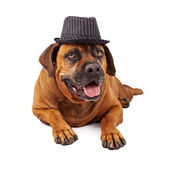 Mastiff Wearing Pinstripe Hat — Stock Photo