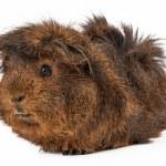 Peruvian Guinea Pig — Stock Photo #49033403