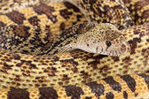 Bullsnake Closeup — Stock Photo