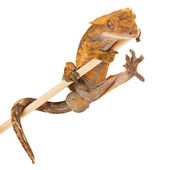 Crested gecko holding onto a stick — Stock Photo