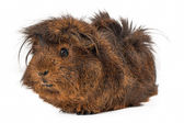 Peruvian Guinea Pig — Stock Photo