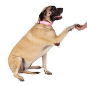 English Mastiff Paw Shake — Stock Photo