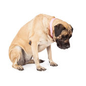Mastiff Dog Looking Down  — Stock Photo