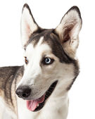 Blue and Brown Eyed Husky Dog Profile — Stock Photo