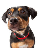 Curious Rottweiler Dog Mix Portrait — Stock Photo