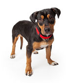 Playful Young Rottweiler Dog Standing Alert — Stock Photo