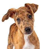Australian Cattle Dog Puppy Mix Closeup — Stock Photo