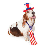 Basset Hound on Fourth of July — Stock Photo