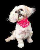 Lhasa Apso Dog Wearing Pink Flower Collar — Stock Photo