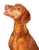 Vizsla Dog Profile Looking Up — ストック写真