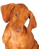 Vizsla Puppy Portrait Looking Down — Photo