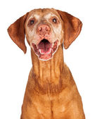 Portrait of Happy Vizsla Dog — ストック写真