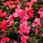 Beautiful flower garden background — Stock Photo #35218163