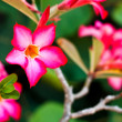 Branch of tropical pink flowers frangipani (plumeria) on dark gr — Stock Photo #35221783
