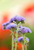 Flossflower in the garden.Shallow depth of field. — Stock Photo