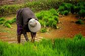 Rice paddy — Stock Photo